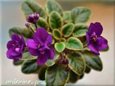 Ness' Tiny Flame (Ness) • Miniature • Double fuschsia. • Variegated dark green and cream/red back
