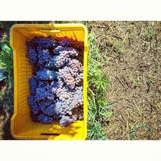 Round 1. #pinotgrigio #vendemmia2015 #valcalepio #vendemmia #harvest #box #harvestbox #yellow #purple #green Many thanks @micheleperletti