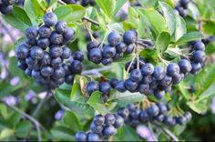 http://www.dimeofarms.com/aronia%20plants%20for%20sale.jpg