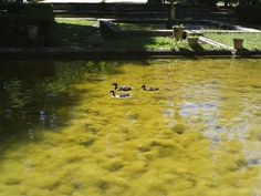 Ducks - Patos