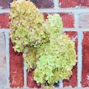 Dried Hydrangea Flower Bunch - Limelight Color