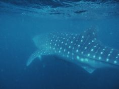 Swimming with Whale Sharks | Whale Shark Exmouth Tours