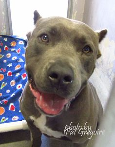 A4807829 I am an extremely friendly male blue/white pit bull mix. I came to the shelter as a stray on March 12. available 3/16/15 NOTE: Bully breeds are not kept as long as others so these dogs are always urgent!! Baldwin Park shelter https://www.facebook.com/photo.php?fbid=938346536177184&set=pb.100000055391837.-2207520000.1426428044.&type=3&theater