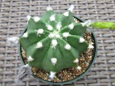 Echinopsis subdenudata – Easter Lily Cactus - See more at: http://worldofsucculents.com/echinopsis-subdenudata-easter-lily-cactus