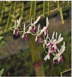 Dendrobium Orchids Dendrobium Orchids, Plants, Flora, Plant