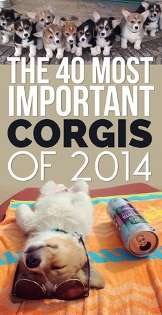 The 40 Most Important Corgis Of 2014- there is not a non-cute corgi photo in this list. Squee-o-licious at its finest.