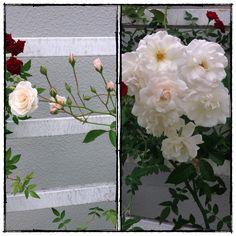Antes e depois....Rosa trepadeira