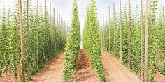 Growing Hops Right At Home Is Easier than You Think Home brewing is becoming… More Beer, Wine And Beer, Beer Ingredients, Beer Hops, Beer Brewing Kits, Home Brewery, How To Make Beer, How To Brew Beer, Beer Recipes