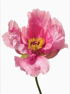 Pink Flowers by Paul Lange