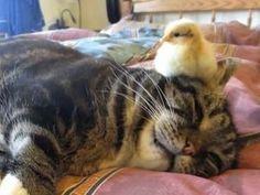 ヒヨコが色々な動物を取り囲む会!かわいい! おもしろ画像集 - NAVER まとめ