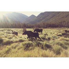 Moose crossing. #Wildlife