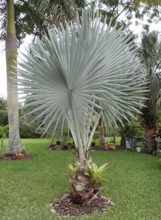 Bismarckia nobilis palm tree