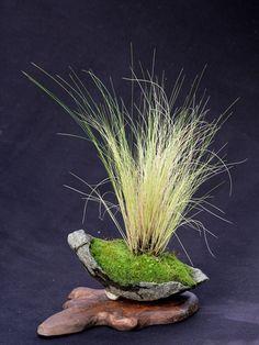 Cheveux d'Ange - Stipa tenuifolia - kusamono et shitakusa mai 2011