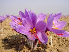 Saffron is the little orange stamen of a special kind of crocus flower. | 28 Fruits And Vegetables That You Had No Idea Grew Like That