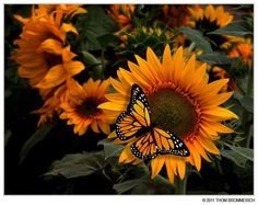 Butterfly On Sunflower Photo:  This Photo was uploaded by moonlightwalk1. Find other Butterfly On Sunflower pictures and photos or upload your own with P...