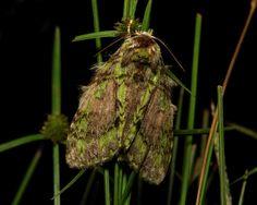 Prominent Moth (Somera viridifusca, Notodontidae)