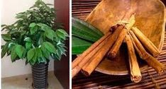 Since childhood we have been consuming organic cinnamon in the form of desserts or drinks, but in recent years we have learned much more about this spice from India, we have adopted other ways of c… Garden Bug Spray, Garden Bugs, Easy Garden, Herb Garden, Como Plantar Cilantro, Permaculture, Succulents Garden, Planting Flowers, Fruit Plants