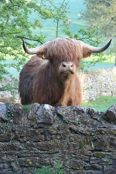 Highland Cattle - pet steer. loved this breed ever since college.