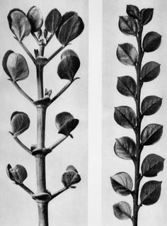Find the latest shows, biography, and artworks for sale by Karl Blossfeldt. A teacher at the Royal Arts Museum in Berlin, Karl Blossfeldt became a celebrated… Karl Blossfeldt, Botanical Art, Botanical Illustration, Nature Illustration, Natural Form Art, Fungi, Royal Art, Nature Aesthetic, Flowers Nature