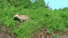 Jaguar goes fishing | Gif Finder – Find and Share funny animated gifs