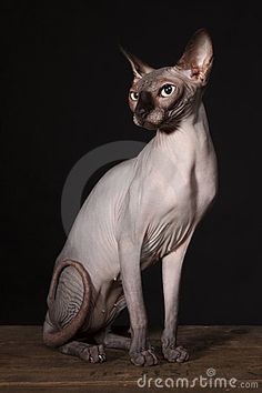 Sphynx Cat  --- OMG how beautiful, what a face.