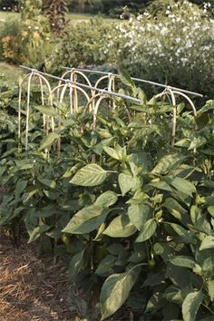 Pepper Support. How to stake peppers and keep the plants sturdy.