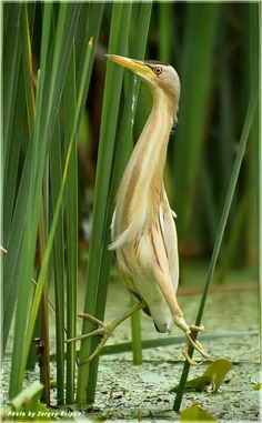 This bird is a bittern and one of its favorite habitats is near the reed beds.