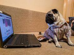 I've been a bit busy but now I'm back in business 😂💼 I missed you guys 🤗  #mauricethepug #backinbusiness #iamback #missedyou #goodtobeback #excited #feelingpositive #pugchat #puglife #pug #mops #dog #puppy