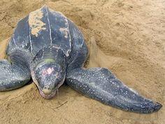 'Third eye' helps sea turtles sense changes in seasons