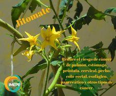 Buena temporada para sembrar jitomates :D  Compartimos algunos beneficios en la salud que conlleva su consumo.