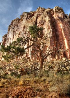 Pine and Red Rock, The Tapestry formations, Capital Reef National Park