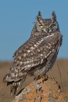 Spotted Eagle Owl -