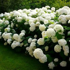Annabelle Smooth Hydrangea Hydrangea arborescens annabelle Annabelle is a stunning white hydrangea, often producing flower heads over 10 in diameter. Blooms every year even after severe pruning and… Hortensia Annabelle, Hydrangea Arborescens Annabelle, Annabelle Hydrangea, Garden Shrubs, Shade Garden, Garden Plants, Backyard Shade, Front Yard Landscaping, Backyard Landscaping