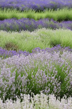 Layers of Lavender and Santolina   Snowshill Lavender Farm, Cotswolds