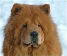 12 Reasons Why Chow Chows Are Underrated