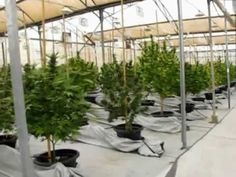 Medical Cannabis Greenhouses in Israel by Ori Sharon