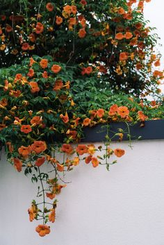 북촌 능소화∙北村 凌宵花 / 여름∙夏 Flower Wallpaper, Iphone Wallpaper, Style Me Pretty Living, Orange Flowers, Creepers, Flower Photos, Ceramic Art, Garden Plants, Four Seasons