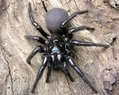 Meanwhile, in Australia. Sydney Funnel Web - This here is the Sydney Funnel Web Spider, and It is the deadliest spider in Australia, if not, the entire world! Dangerous Animals In Australia, Spiders In Australia, Australia Animals, Scared Of Spiders, Spiders And Snakes, Large Spiders, Sydney Funnel Web Spider, Mantis Religiosa, Cool Bugs
