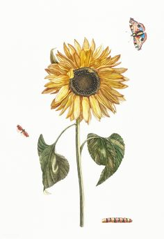 A sunflower, a caterpillar and two butterflies by Johan Teyler (1648-1709). Original from Rijks Museum. Digitally enhanced by rawpixel. | premium image by rawpixel.com