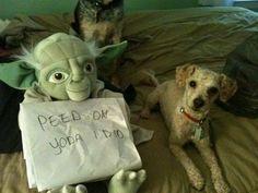 """""""Peed on Yoda I did."""" ~ Dog Shaming shame"""