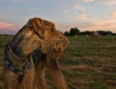 airedale: Airedale terrier dog looking back on a field of hay bales at sunset