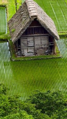 Rice fields in summer
