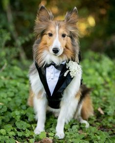 Do you want to include pets in your wedding day? Here you find wonderful and creative photo ideas with wedding pets! Tuxedo Wedding, Dog Wedding, Dream Wedding, Baby Dogs, Pet Dogs, Pets 3, Cute Puppies, Dogs And Puppies, Dog Tuxedo