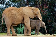 Mini Me - Elephant mom & baby enjoy breakfast together at the Safari Park