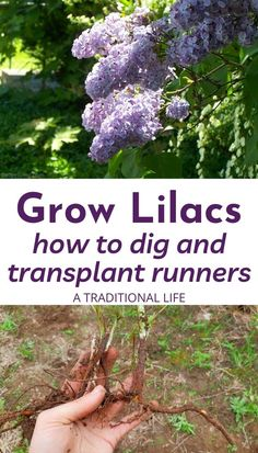 Lilacs are an old fashioned flowering shrub that is easily added to your landscape. Instead of purchasing plants from your local nursery, come learn how to grow lilacs from suckers! Outdoor Flowers, Outdoor Plants, Garden Plants, Outdoor Gardens, Roses Garden, Fruit Garden, House Plants, Garden Yard Ideas, Lawn And Garden