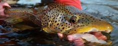 Feed Them Meat I _ The Streamer Diaries | The Ozark Fly Fisher Journal