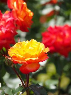 ' Charisma'  | Floribunda rose, Changes from orange to yellow to dark pink as the blooms age.