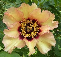 Yellow- Savage Splendor 3 yr. old American Hybrid tree peony