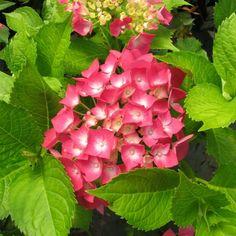 Hortensia 'Leuchtfeuer'jardin trasero