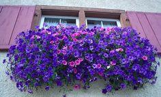 Surfinia, fiori da balcone pendenti